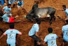 Two deaths in traditional bullfighting in India 5