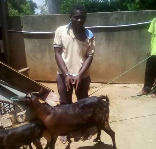 """Malawi: Man arrested for sleeping with a goat,""""but I took permission"""" 1"""