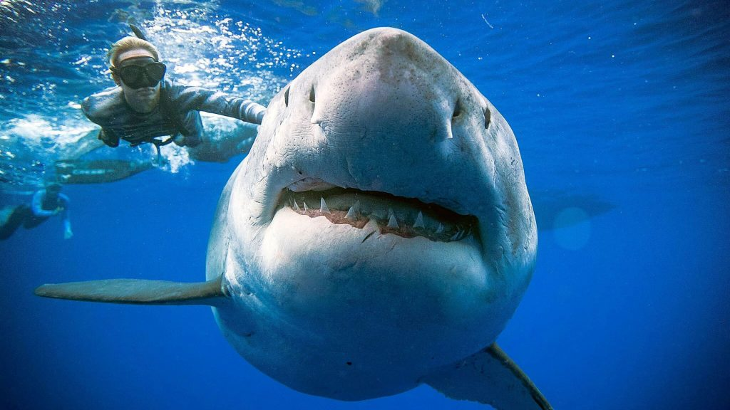 """New photos of """"Deep Blue"""", largest female white shark in the world 4"""