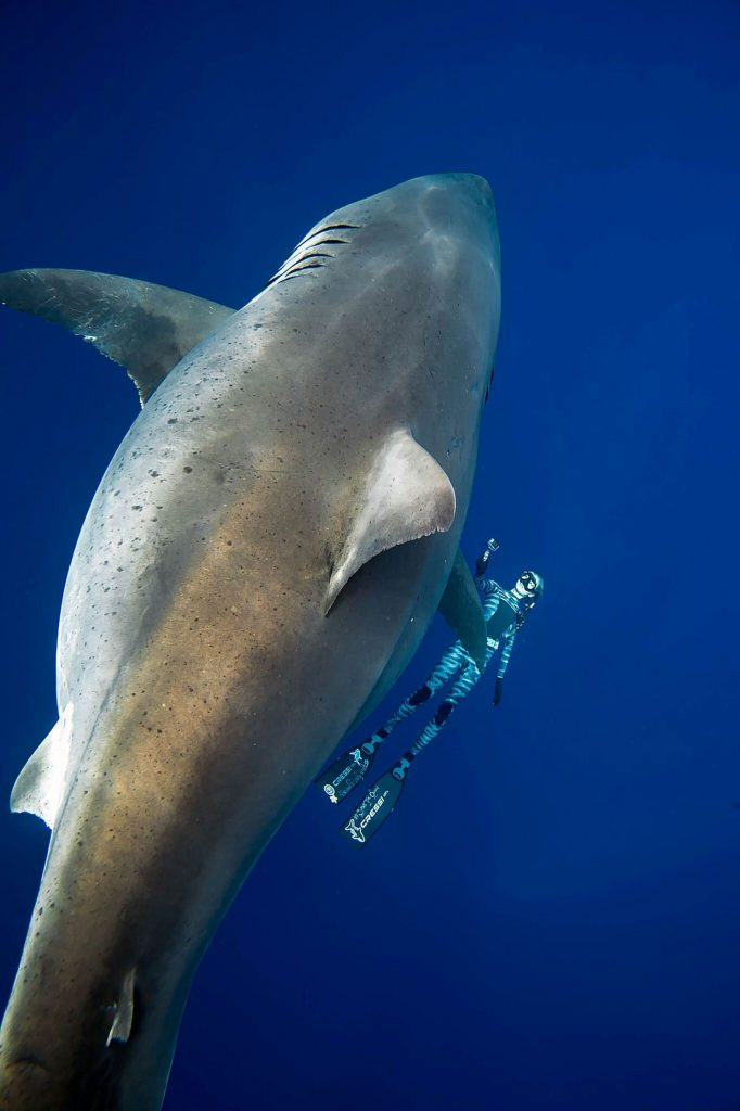 """New photos of """"Deep Blue"""", largest female white shark in the world 1"""