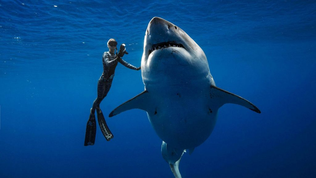 """New photos of """"Deep Blue"""", largest female white shark in the world 2"""