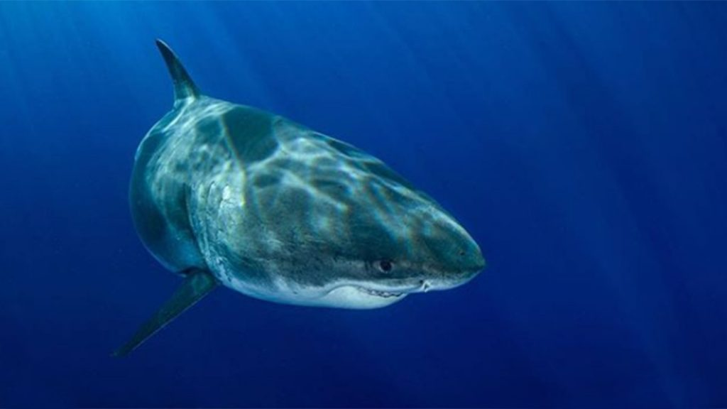 """New photos of """"Deep Blue"""", largest female white shark in the world 3"""