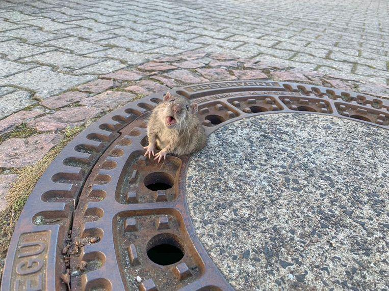 Animal ambulance tears for a trapped rat in the pit