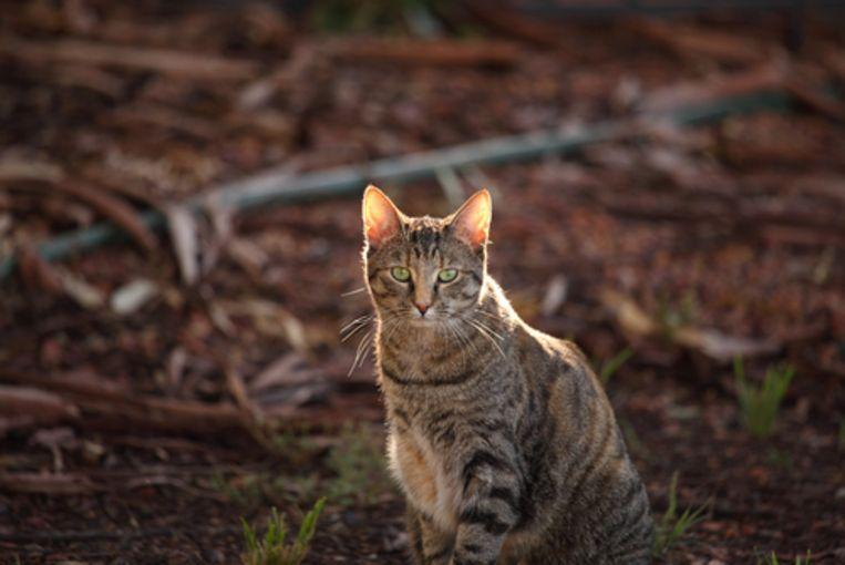 Australia to wipe out 2 million wild cats by next year
