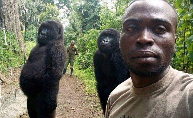 Photo of Viral photos of gorillas that posed with ranger for selfie