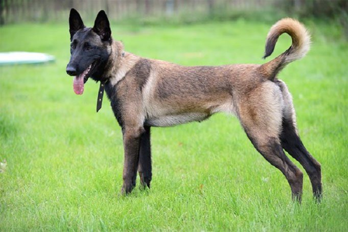3-year-old child bitten 56 times by a Malinois dog