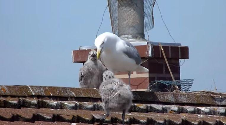 """The Birds"" in real life: couple can't leave home due to aggressive seagulls"