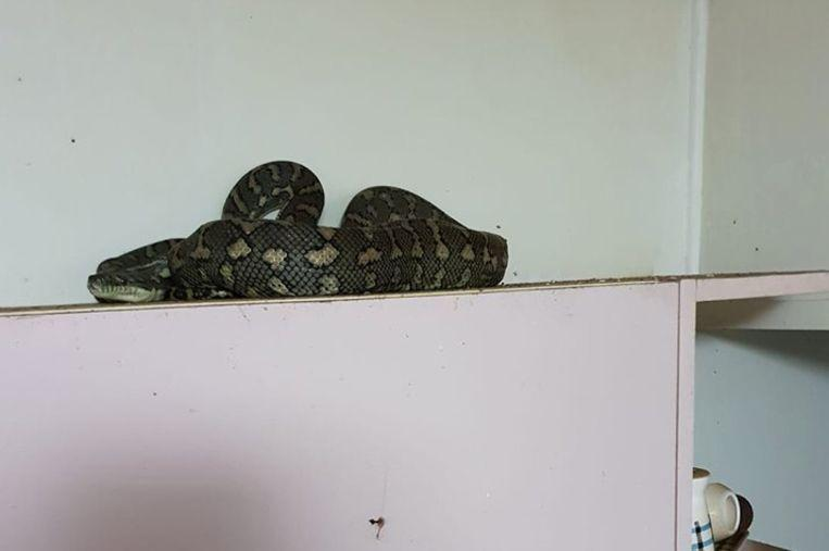 Python hides in the kitchen of an older couple: do you see it?