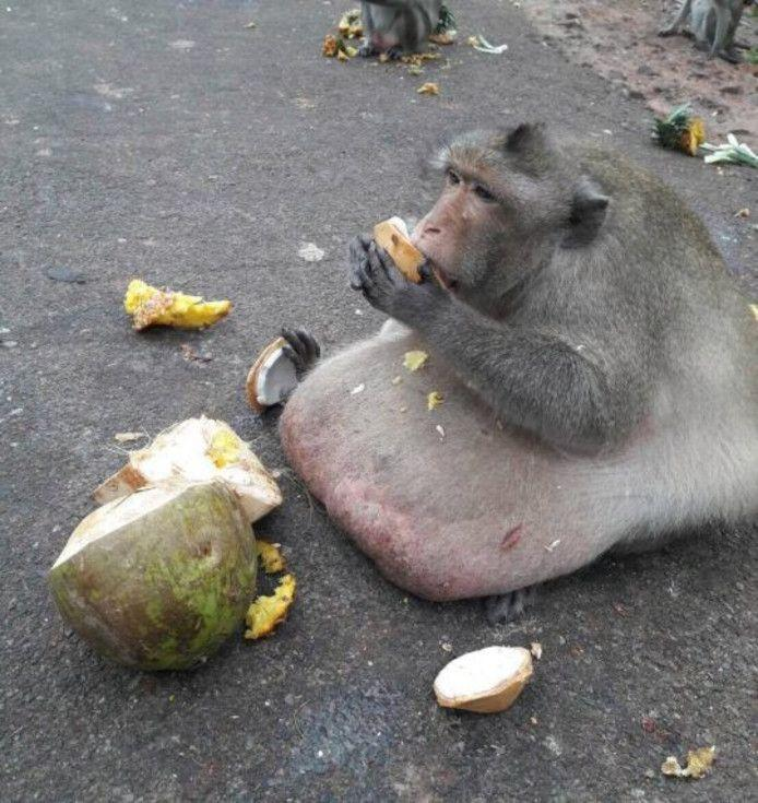 Uncle Fatty: Caregivers fear the life of world-famous obesity monkey
