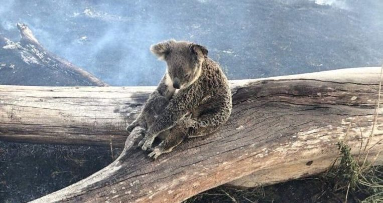 Photo of Striking image: mama koala protects her baby against the onset of forest fires