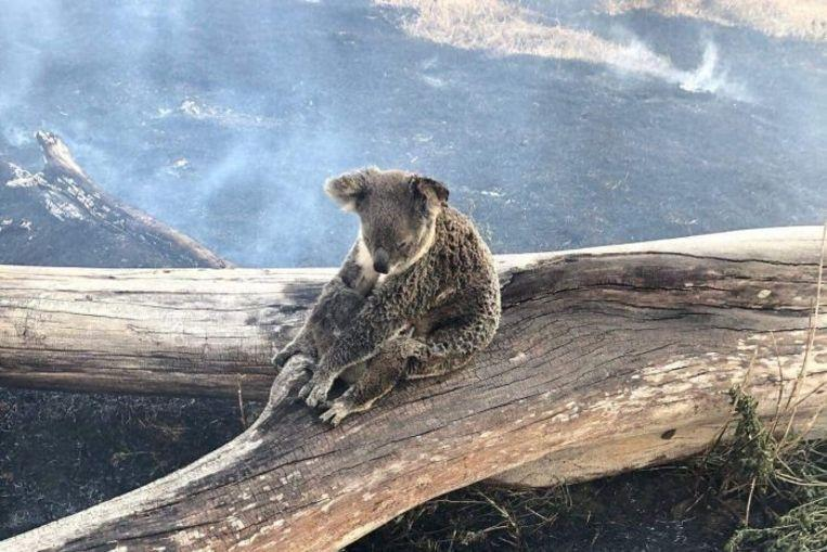 Striking image: mama koala protects her baby against the onset of forest fires
