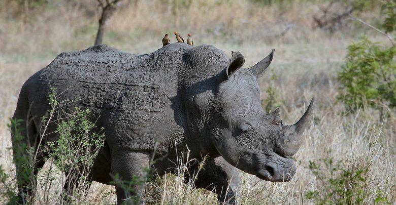 Photo of Botswana raises alarm over increased rhino poaching