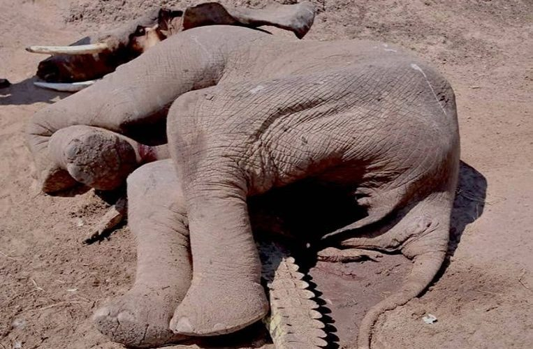 Bizarre photo of dead elephant on crushed crocodile: how did that happen?